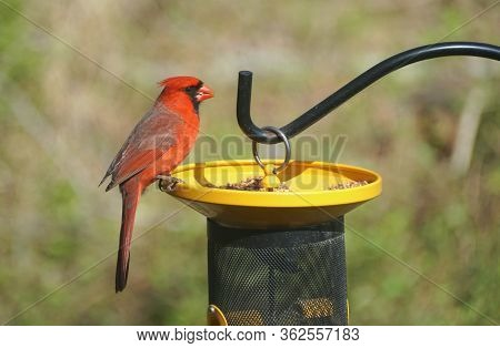 A Male Red Cardinal Eating Seeds On The Bird Feeder