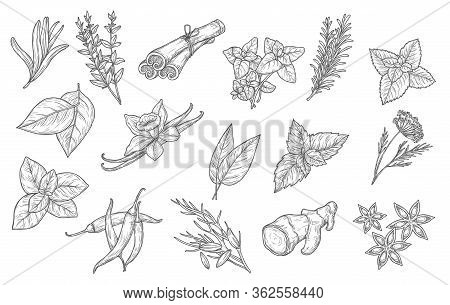 Cooking And Herb Seasonings, Vector Sketch Icons. Herbal Condiments And Culinary Flavorings, Cinnamo