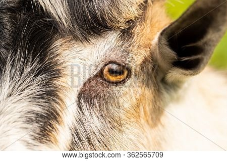 Closeup Of Eyes Of Young Domestic Goat Male Outdoors On Sunny Day At Farm.