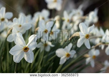 White Narcissus (narcissus Poeticus) With Yellow Trumpet In The Flowerbed. White Spring Flowers Grow