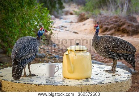 Guinea-fowl On The Coffee Table In Namibia Desert