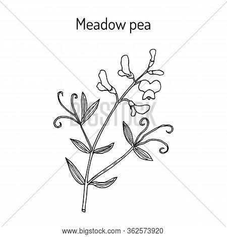 Meadow Vetchling Or Pea Lathyrus Pratensis , Medicinal Plant. Hand Drawn Botanical Vector Illustrati