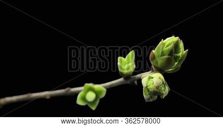 Small Sprouts Rising On Branch Of Tree, Germination Process, Evolution, Spring Time Lapse, Pestel, F