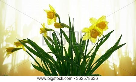 Narcissus Flower Bouquet On The Window Opening Its Blossom, Blooming Time Lapse, Yellow Spring Backg