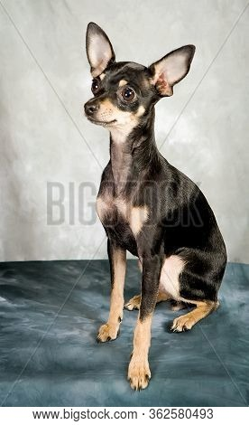 Russian Toy Terrier Puppy On Grey Background