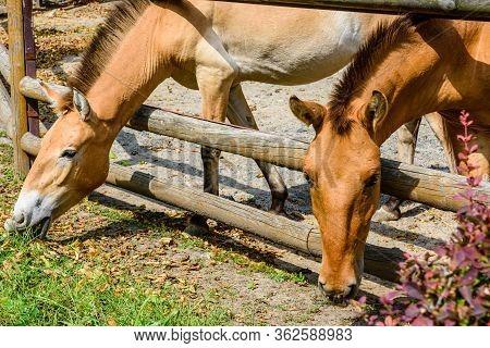 Przewalski Wild Horses (equus Przewalskii Or Equus Ferus Przewalskii) Or Mongolian Wild Horses In Pa