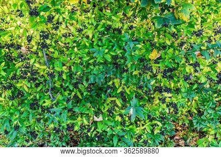 Berries On Bush Of Common Privet Plant (ligustrum Vulgare)