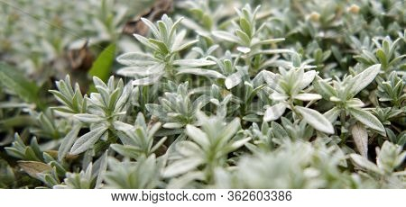 Background And Patern Of Silvery Green Foliage, Yaskolka Silver Stalk