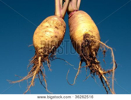 Edible Swedes Rutabaga Against Blue Sky Background