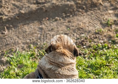 Brown Dog Of The Breed Mobs