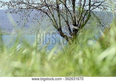 Annecy Lake And Green Grass Blur, Tree, Landscape In Savoy France