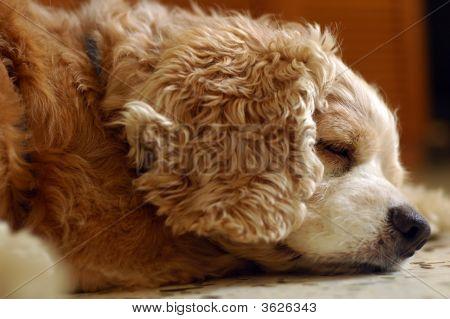 Tired Cocker Spaniel