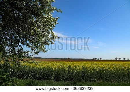 Raps Field - Cultivated Colorful Raps Field In Germany.