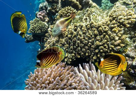 Raccoon Butterflyfishes