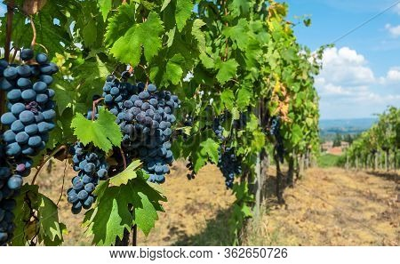 Bunch Of Blue Grapes Grapevine. Colorful Branches Of A Vineyard In Natural Landscape Before Harvest