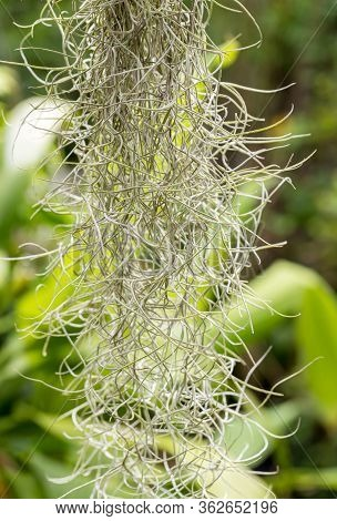 Natural 'curtain' Formed By Spanish Moss. Spanish Moss Close Up. Grey Natural Background. Tillandsia
