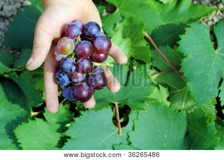 kid hand with colorful grapes in the vineyard
