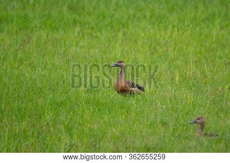 A Pair Of Lesser Whistling Ducks (dendrocygna Javanica), In The Lush Green Fields, During The Monsoo