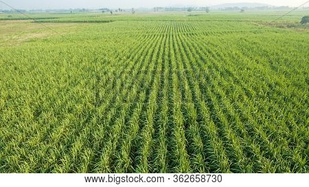 Sugar Cane Farm. Sugar Cane Fields View From The Sky. Drone Photo Of Cane Sugar. Sugarcane Field In