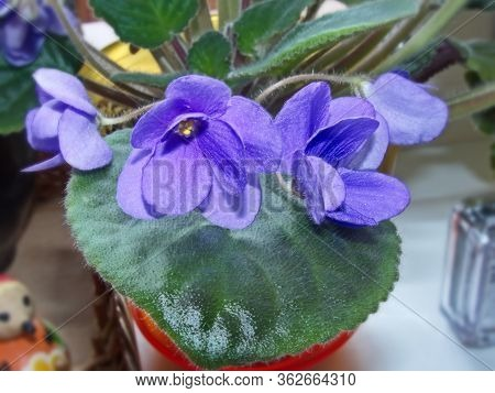 Flowers Violets