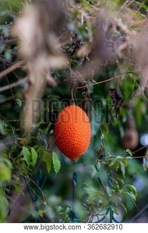 Gac Fruit On Tree,(baby Jackfruit, Cochinchin Gourd, Spiny Bitter Gourd, Sweet Gourd). Momordica Coc