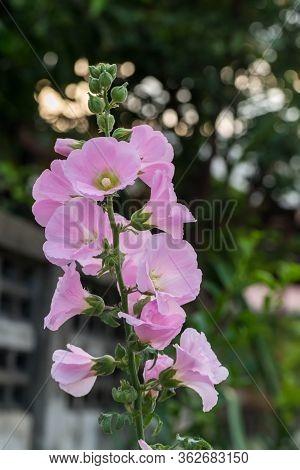 Beautiful Hollyhock Flower In Garden. Pink Malva Silvestris. Mallow. Vervain Mallow Or Hollyhock Mal