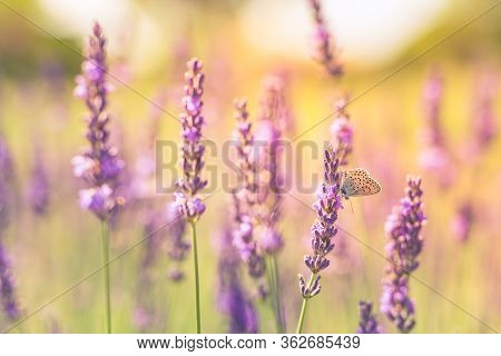 Butterfly Flying Over Lavender Flower, Butterflies On Lavender Flower. Lavender Bushes With Butterfl