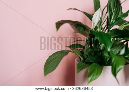Houseplant Spathiphyllum On Pink Background, Green Leaves And White Flower. Female Happiness, Home G