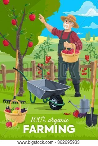 Farming And Harvesting Vector Poster, Farmer Man Gathering Apples Harvest To Wicker Basket. Organic
