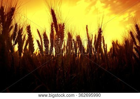 agricultural image of shiny wheat field over sunny sky