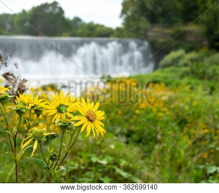 Black-eyed Susan Flowers, Rudbeckia Hirta, Closeup, With Waterfalls And River In Background. Selecti