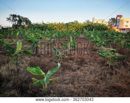 Banana Tree Plantation In Chennai City. Agriculture In Urban Areas. Harvesting Banana Tree Near Urba
