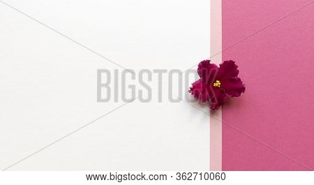 Violet Plant Flower On White And Pink Background. Simple Flat Lay With Pastel Texture. Fashion Eco C