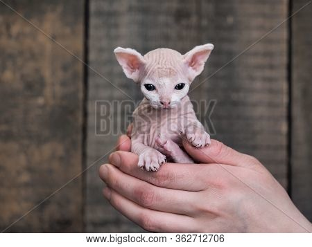 A Small Bald Kitten In The Hands Of A Man