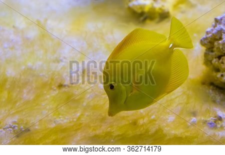 Closeup Portrait Of A Yellow Tang Fish, One Of The Most Popular Fishes In Aquaculture, Tropical Fish