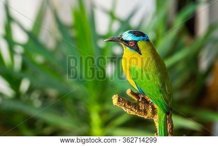 Closeup Portrait Of An Amazonian Motmot, Colorful Tropical Bird Specie From South America