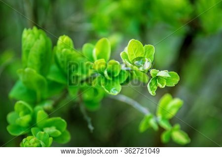 Young Green Leaves Of A Plant In Dew. Water Drops On Foliage Of Shrub After Rain. Close-up Of Foliag