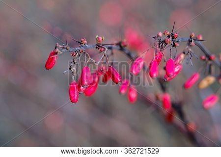 Closeup Of Barberry Red Berries On The Branch On A Bush. Fresh Ripe Berberis Vulgaris Berries On Blu