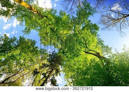 Green Trees Growing Tall Towards The Blue Summer Sky, Worms Eye View