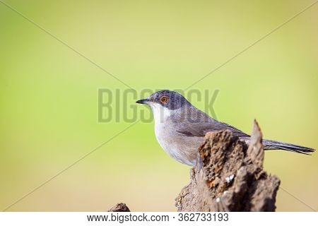 Beautiful Sylvia Melanocephala Warbler Perched On Branch With Green Background
