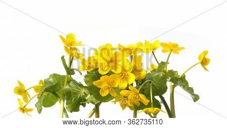 Marsh Marigold, Caltha Palustris Isolated On White Background. Wild Yellow Spring Flowers Growing In