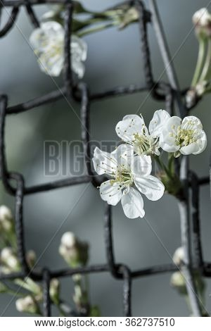 Blossoming Cherry, Prunus Subg, Cerasus, Is Visible Through An Old Rusty Chain-link Fence. Filtered