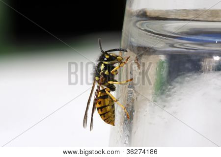 Wasp On The Side Of A Glass