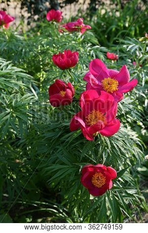Red Wild Peony Flowers In A Garden In A Spring Day