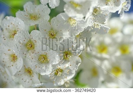 Closeup Of A White Spiraea Flowering In Nature