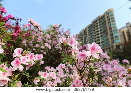 A Beautiful Rhododendron Degronianum Flowers With The Apartment