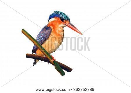 The Malachite Kingfisher (corythornis Cristatus) Sitting On The Reed. Kingfisher With White Backgrou