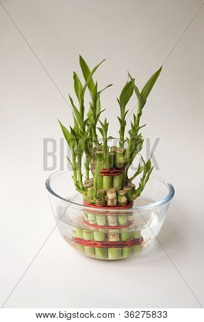 Bamboo-good Luck Plant One