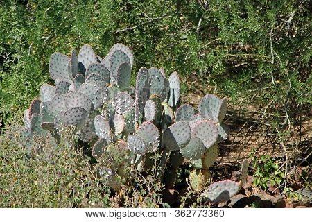 Cacti In The Sonoran Desert In Phoenix, Arizona