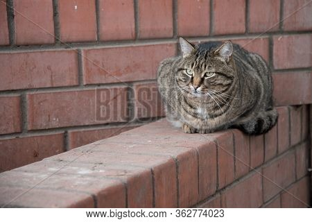 A Fat, Fat Tabby Cat Sat Snugly On The Fence. Portrait Close-up.
